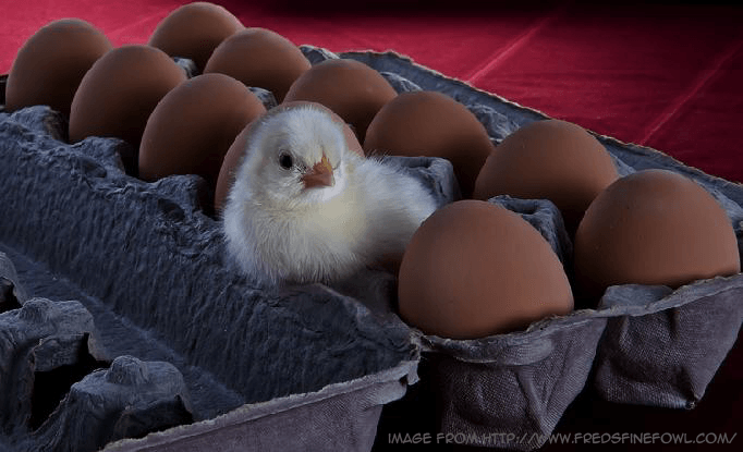 SEO tips Chick eggs